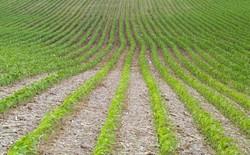 всходы кукурузы в открытом грунте